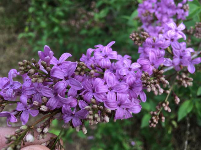 Can you eat lilacs? I asked myself this question last year as flowers were blooming all over my yard. Working in my flower garden, I wondered how many of ...