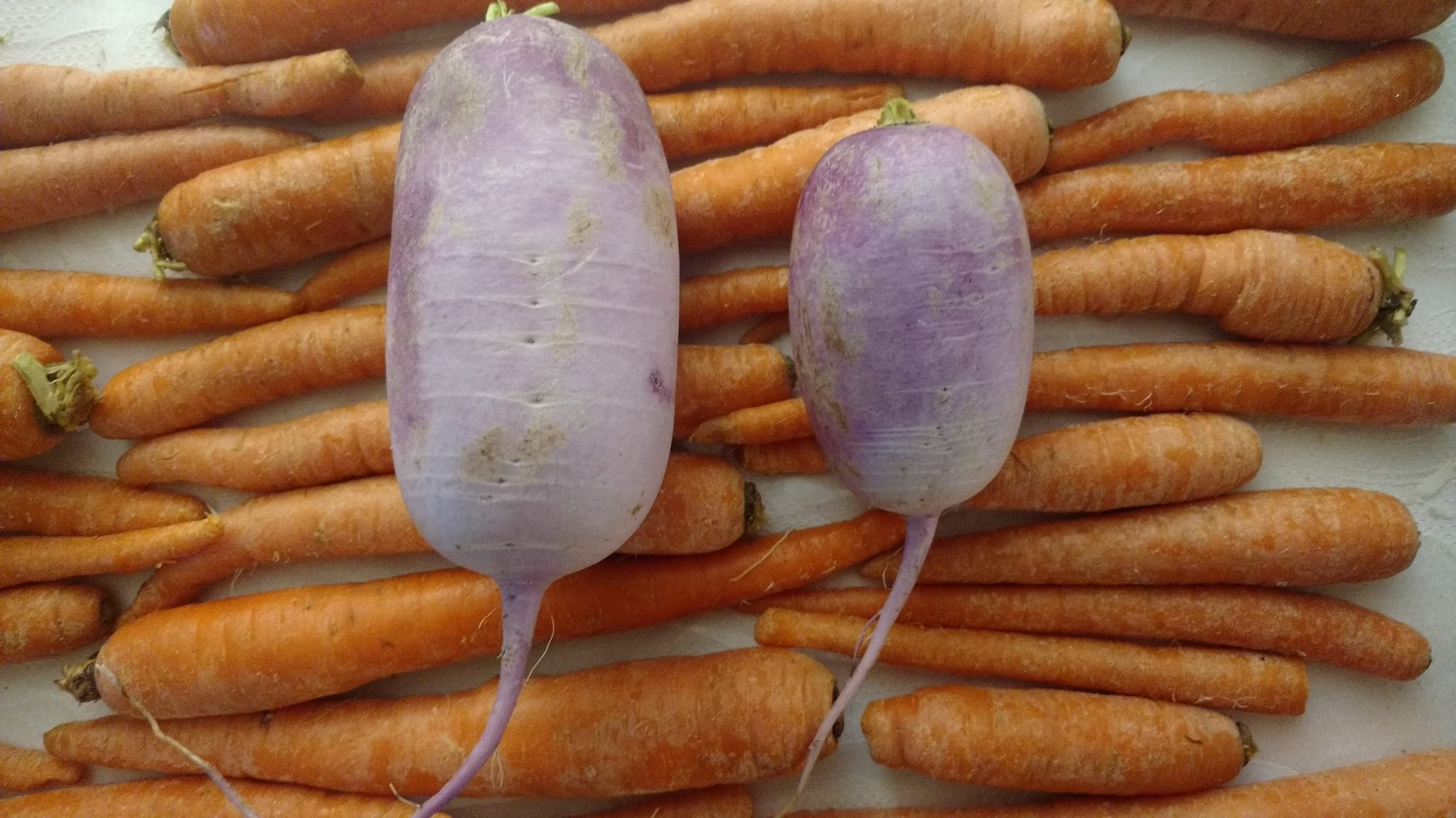 carrots and purple daikon -- Root vegetables
